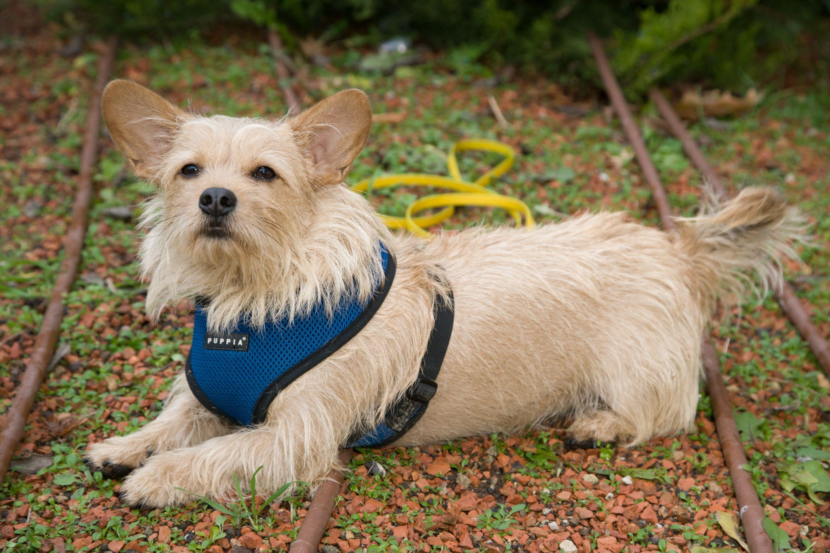 Small dog with harness and leash