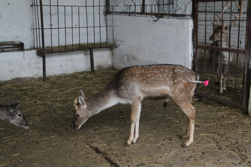 Hirsch mit Betäubungspfeil im Fier Zoo (c) VIER PFOTEN