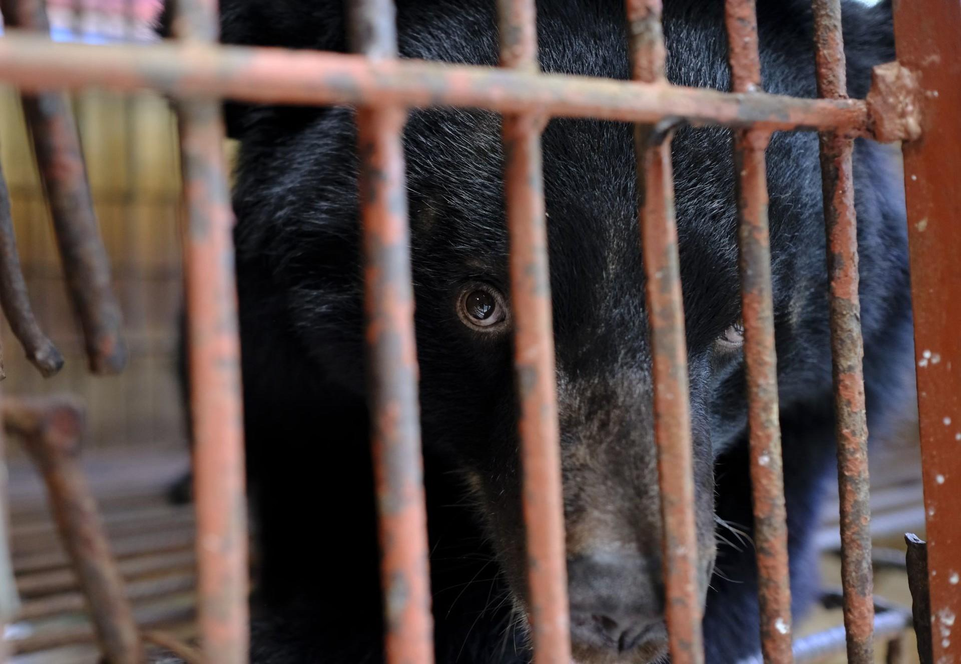 Asiatic black bear in a cage