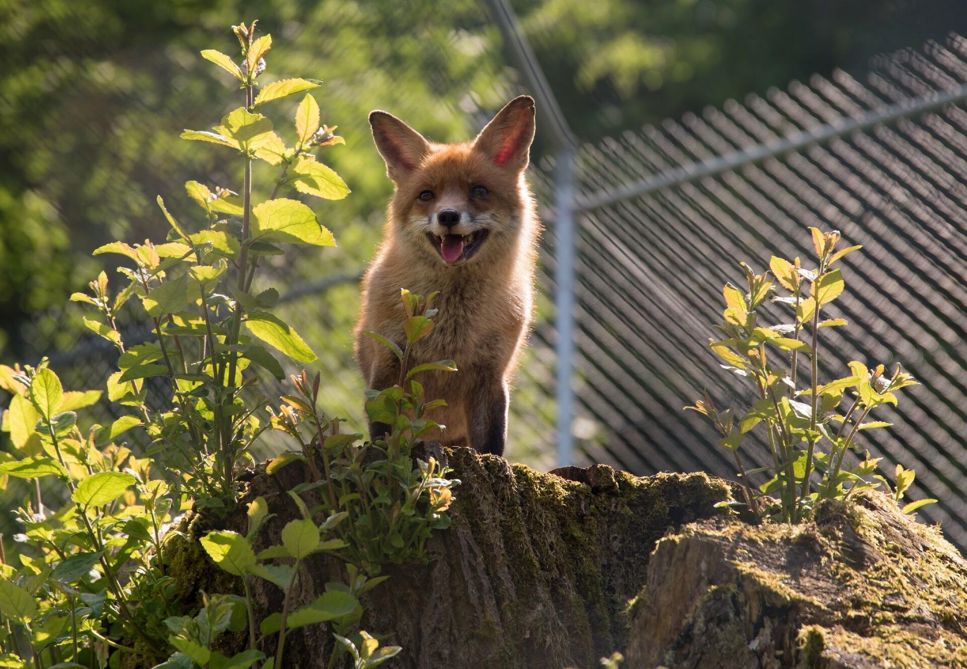 Schlauer Fuchs bei TIERART