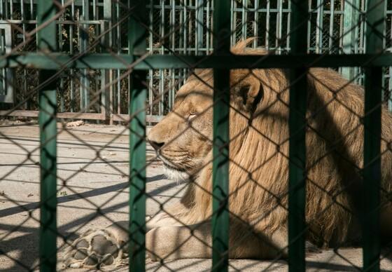 Lion Goran in a zoo