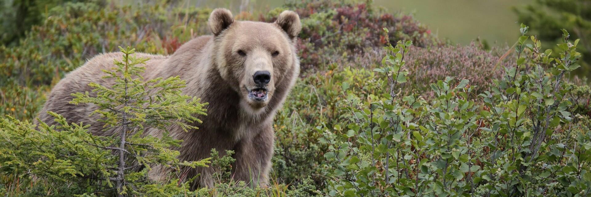 Bear Napa in sanctuary