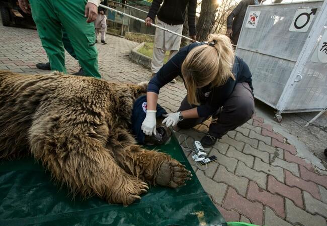 Gesundheitscheck der Bären vor dem Transport