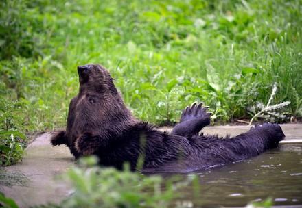 Germany, Müritz | 2012 09 04 | BWM Transfer | Siggi (deceased), a 19 years old brown bear, plays in the water in Baerenwald Mueritz, on September 4, 2012. MIHAI VASILE / FOUR PAWS