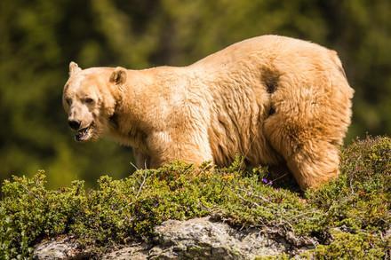 Napa - der erste Bär in Arosa