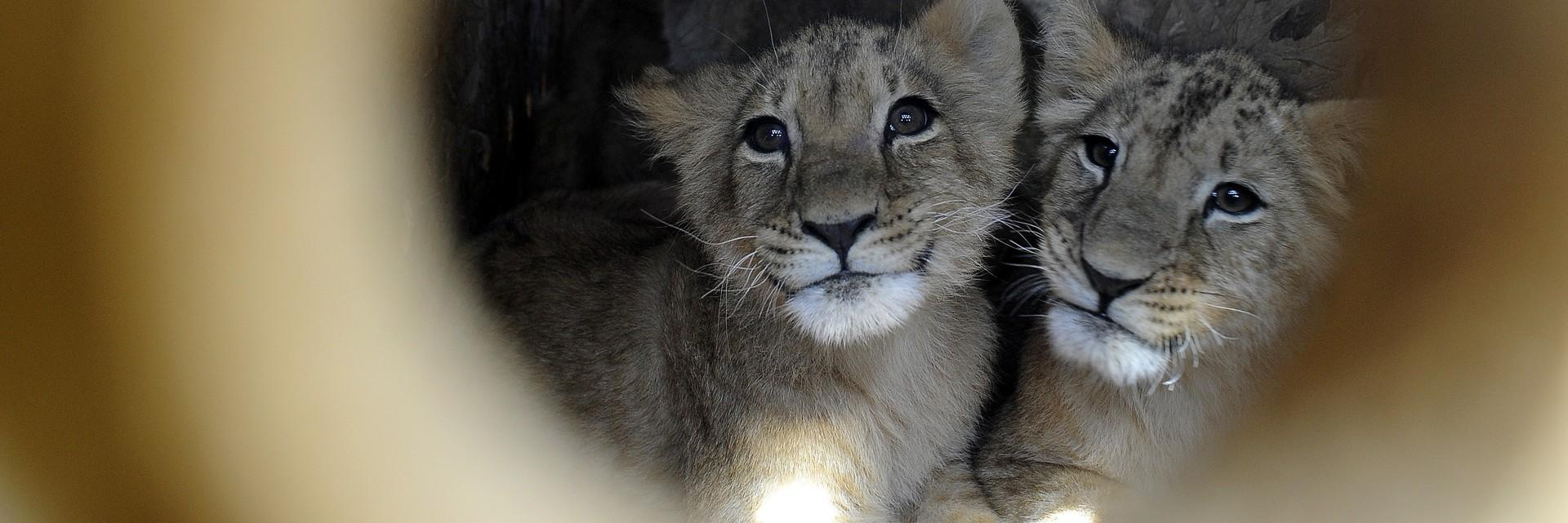 Lions cubs in transport