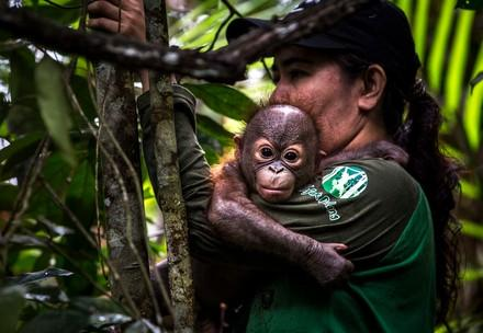 En quoi consiste le rôle des mères de substitution des orangs-outans?