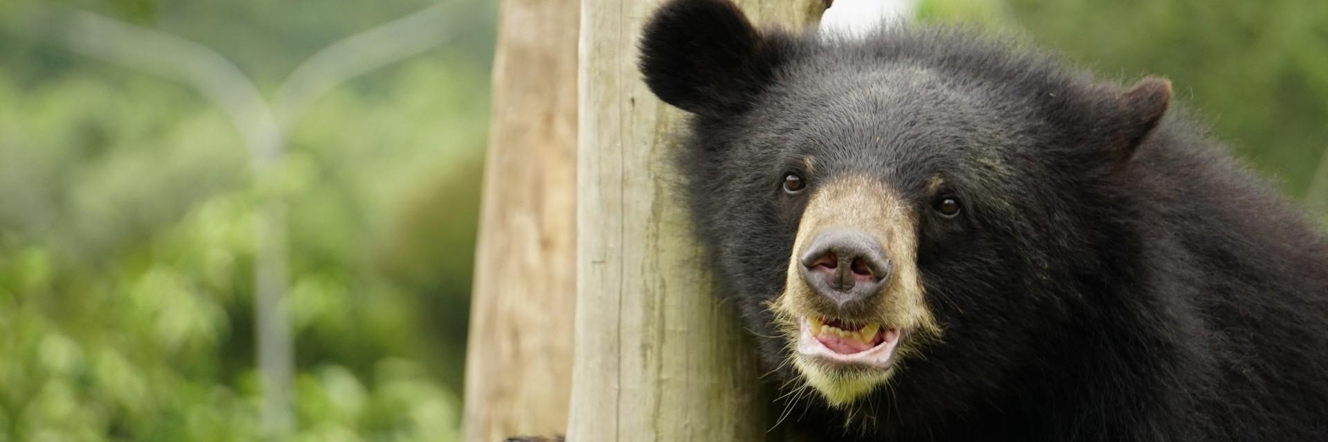 Bear Lac in the outdoor enclosure at BEAR SANCTUARY Ninh Binh