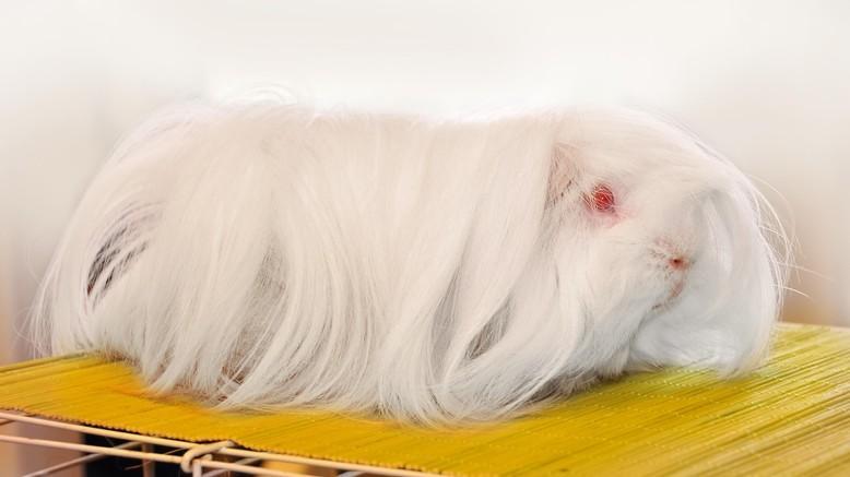 Lethal white Meerschweinchen