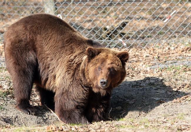Bear Laska digging holes