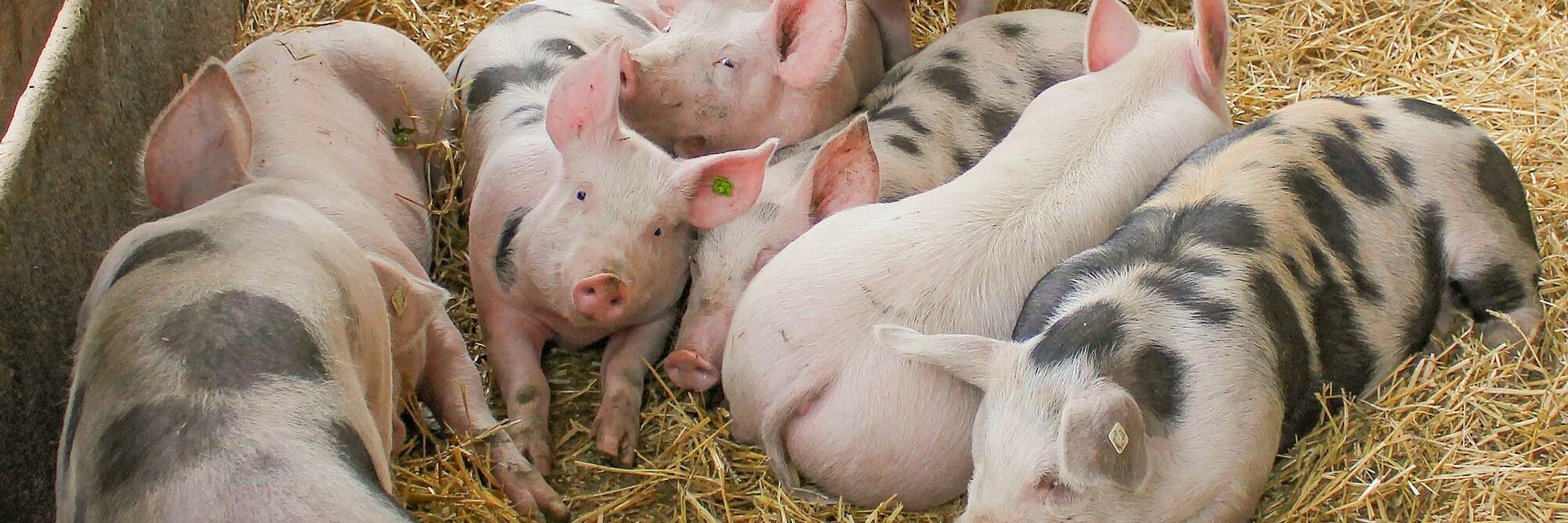 Schweine im Stroh