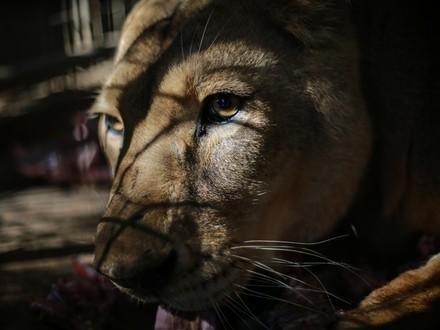 Lion in Gaza