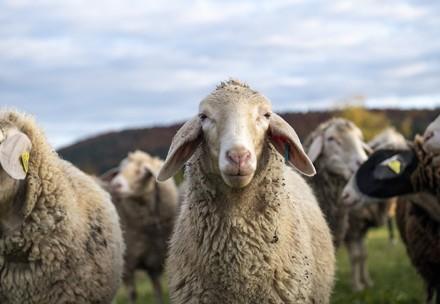 Sheep in Australia