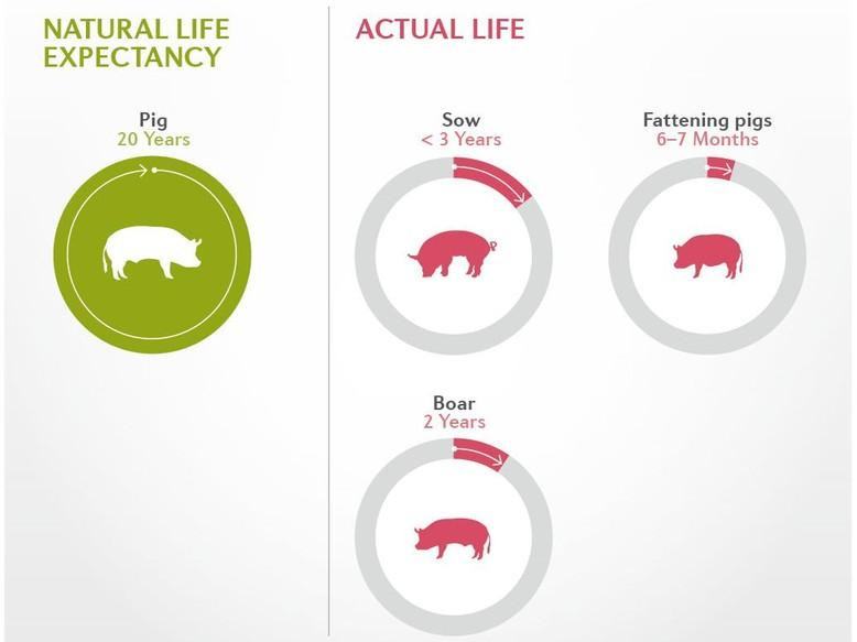 Life expectancy of a pig