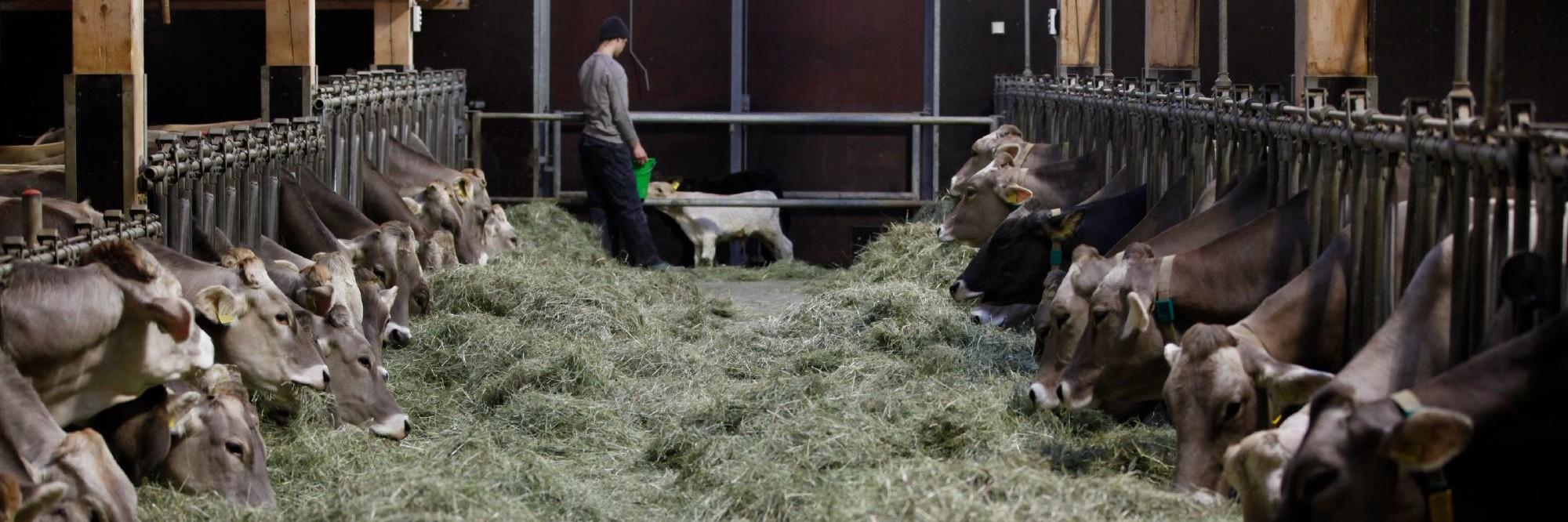Bauernhof mit Milchkühen in Deutschland