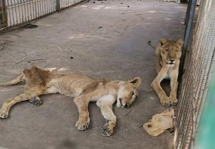 Starving Lions in Sudan