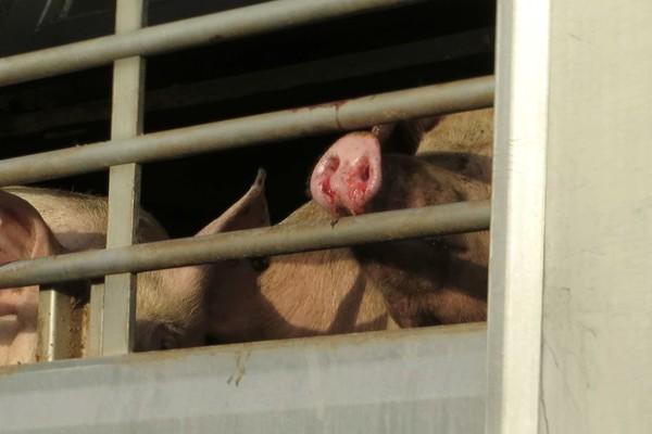 Schweine in einem Transporter