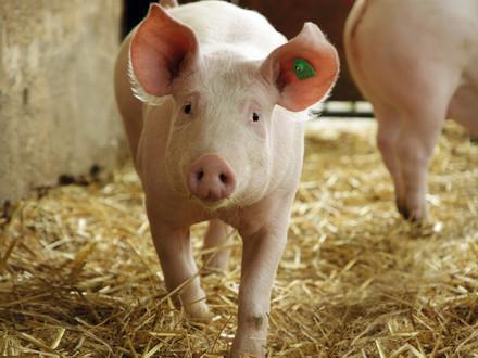 Artgemäße Schweinehaltung bei Hütthaler KG