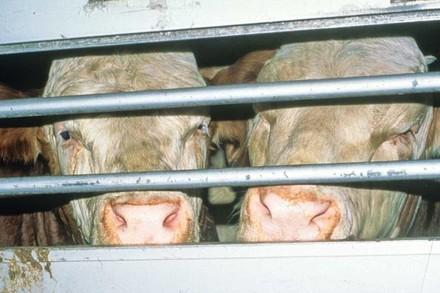 Rinder im Tiertransporter