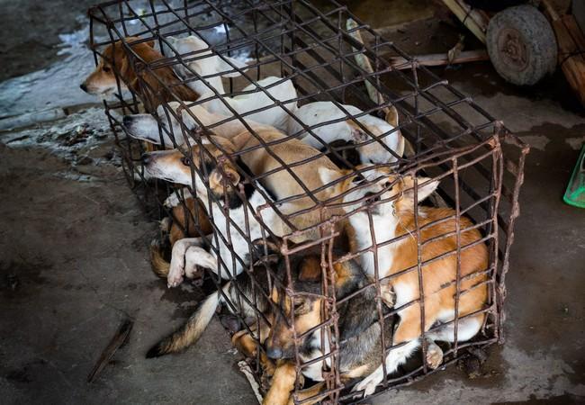 Les chiens sont entassés dans des cages en métal exigües