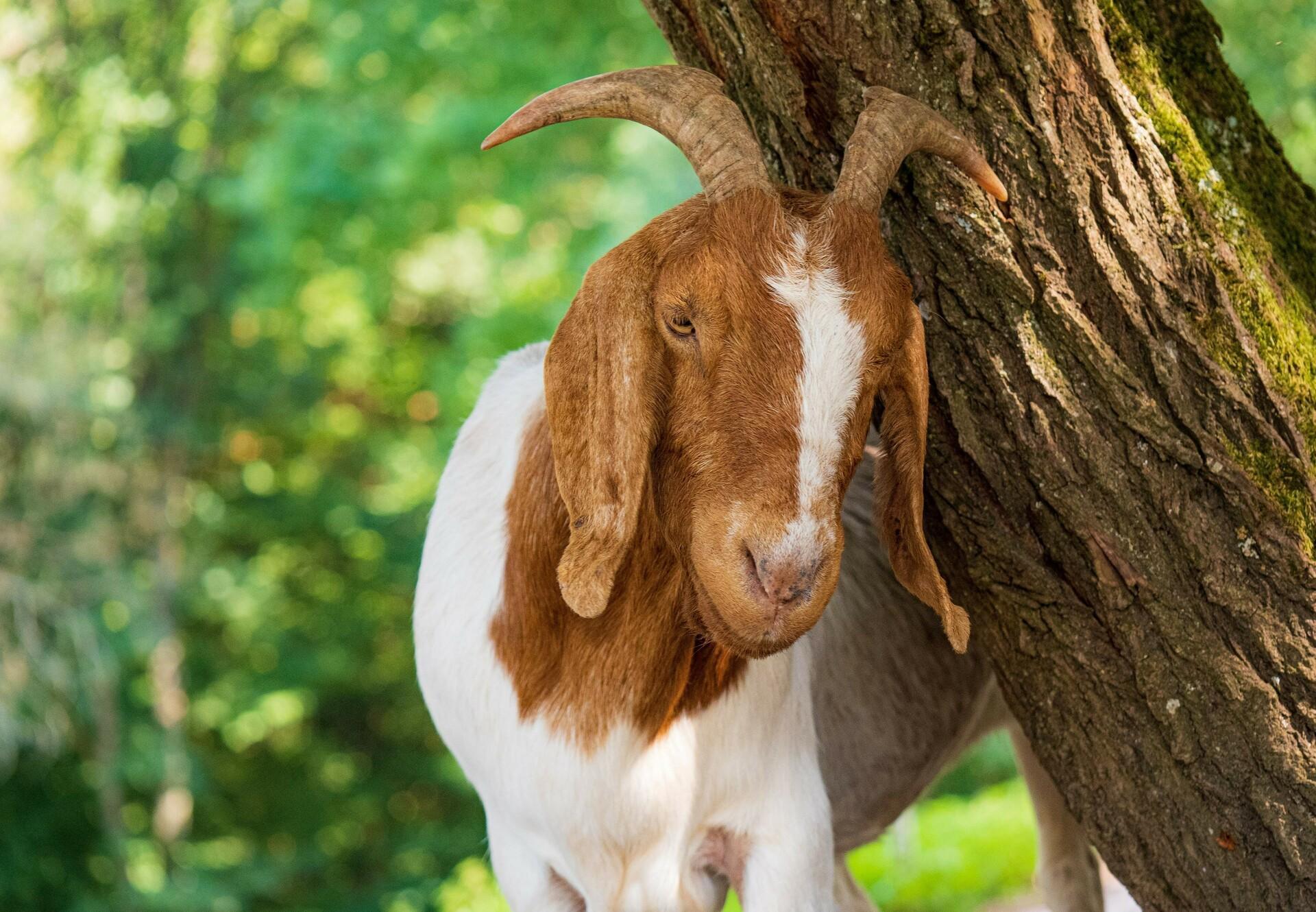 Goat at TIERART