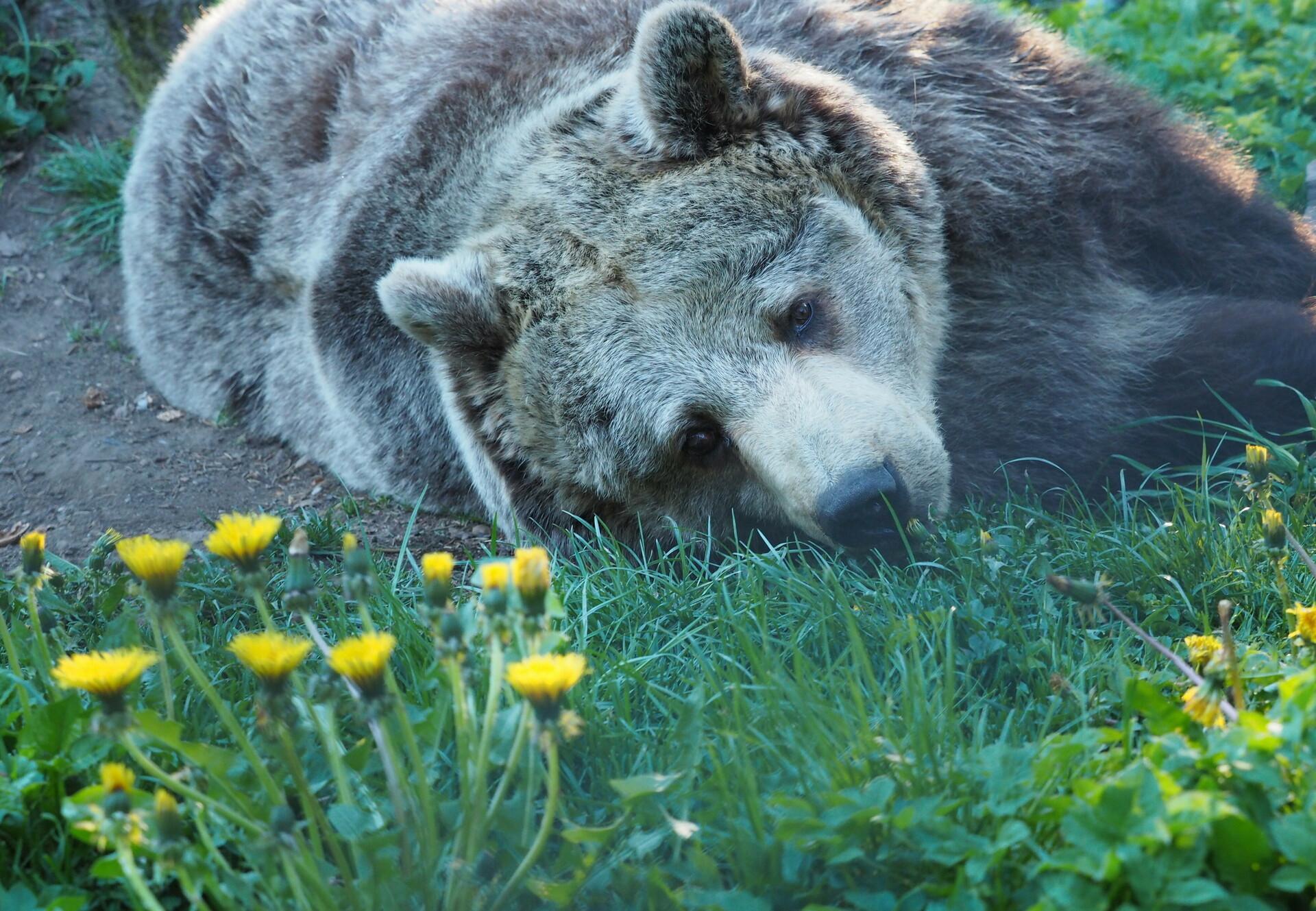 Brumca lying in the meadow