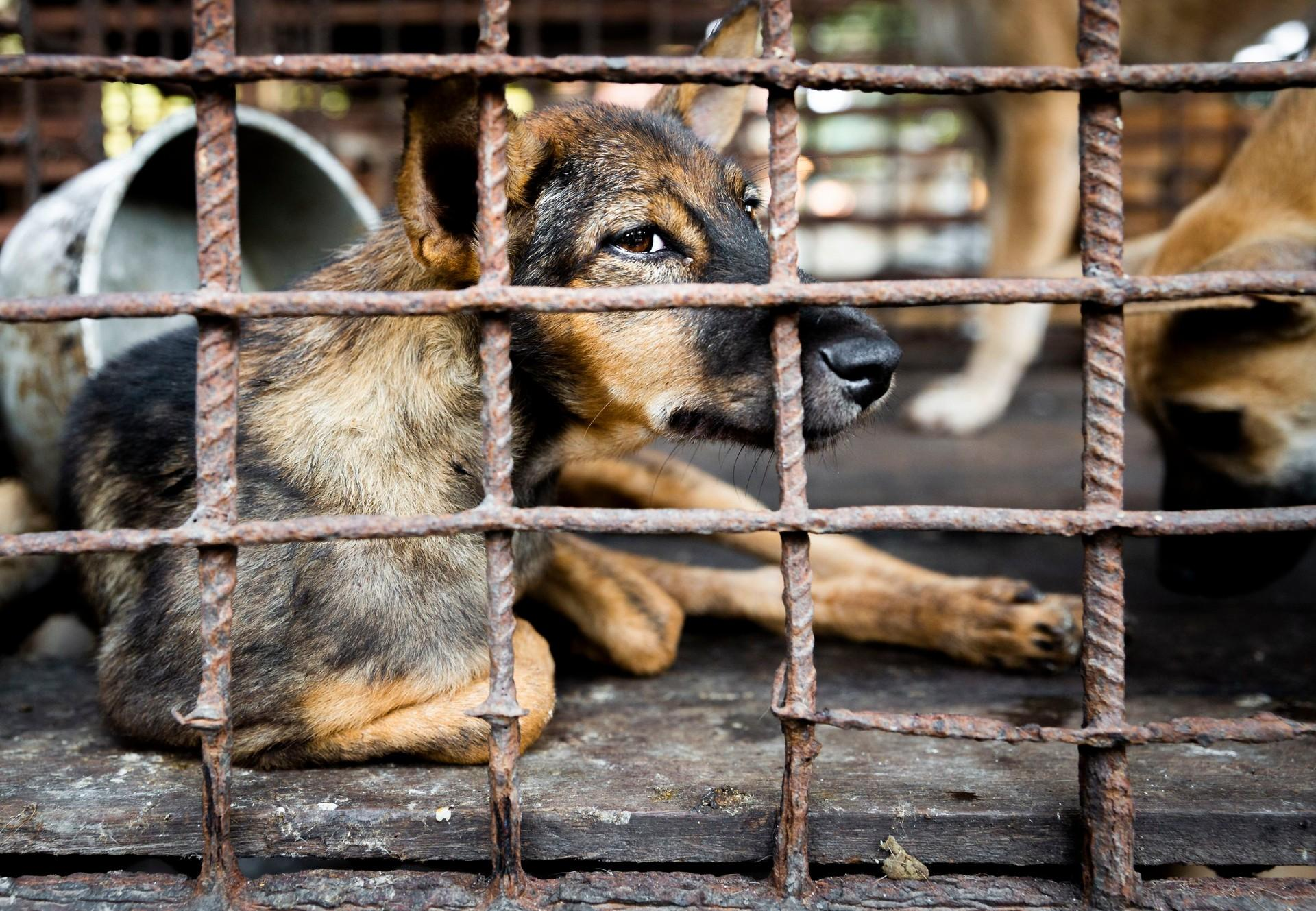Dogs in cages at a dog meat trader in Siem Reap, Cambodia