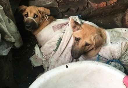 Dogs in thick sacks with mouths tied, Borneo 2021