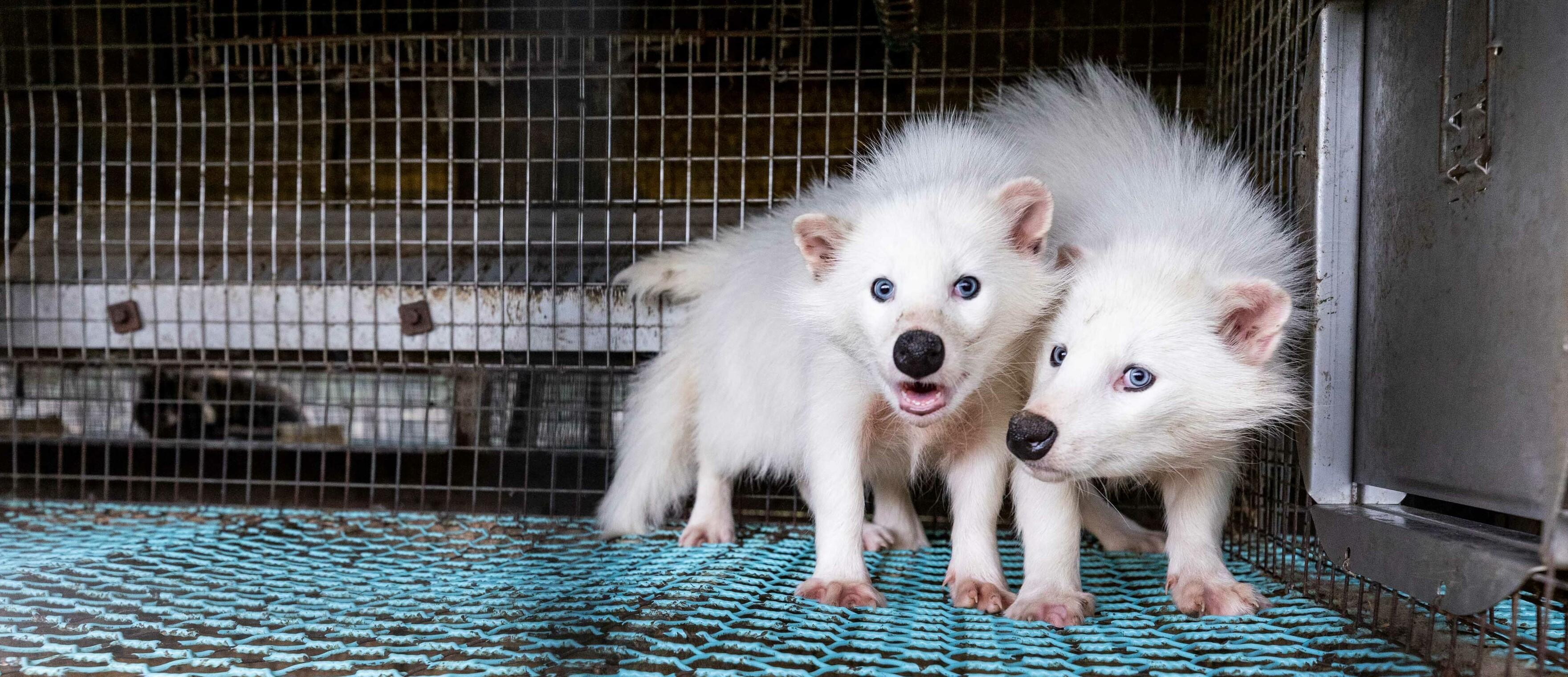 Marderhunde im Käfig