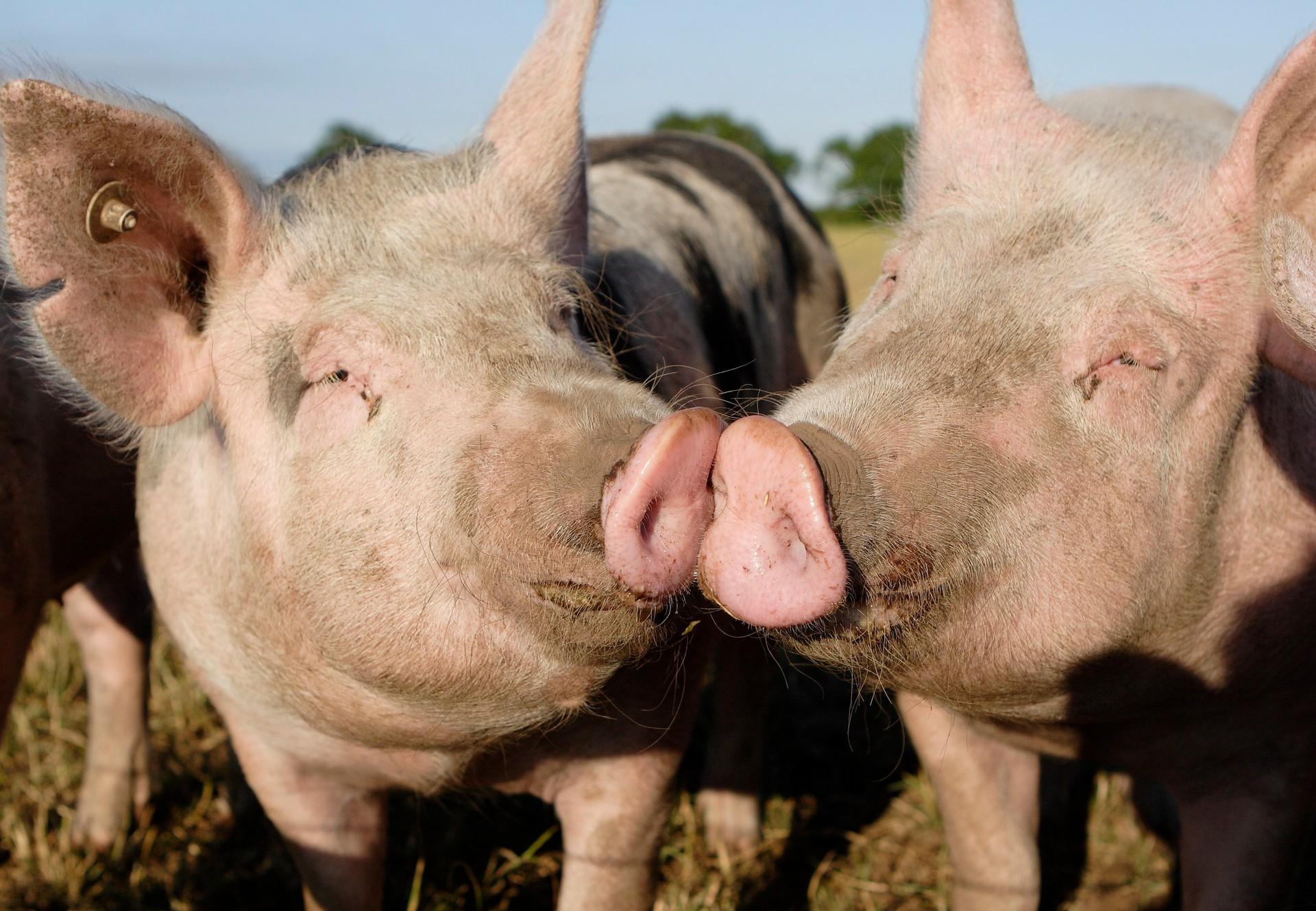 Zwei Schweine (C) VIER PFOTEN | Fred Dott