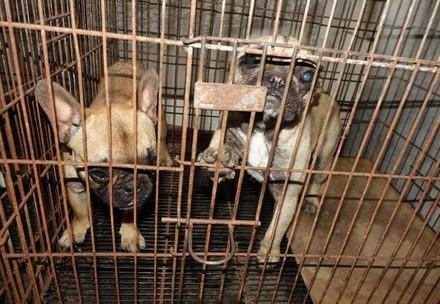 Franse Bulldogs in een kooi
