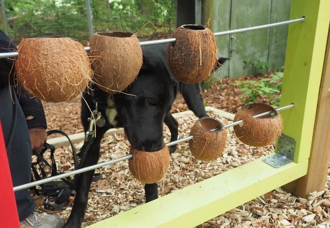 schwarzer Hund versucht aus auf Stangen aufgefädelten Kokosnüssen Futter herauszubekommen.