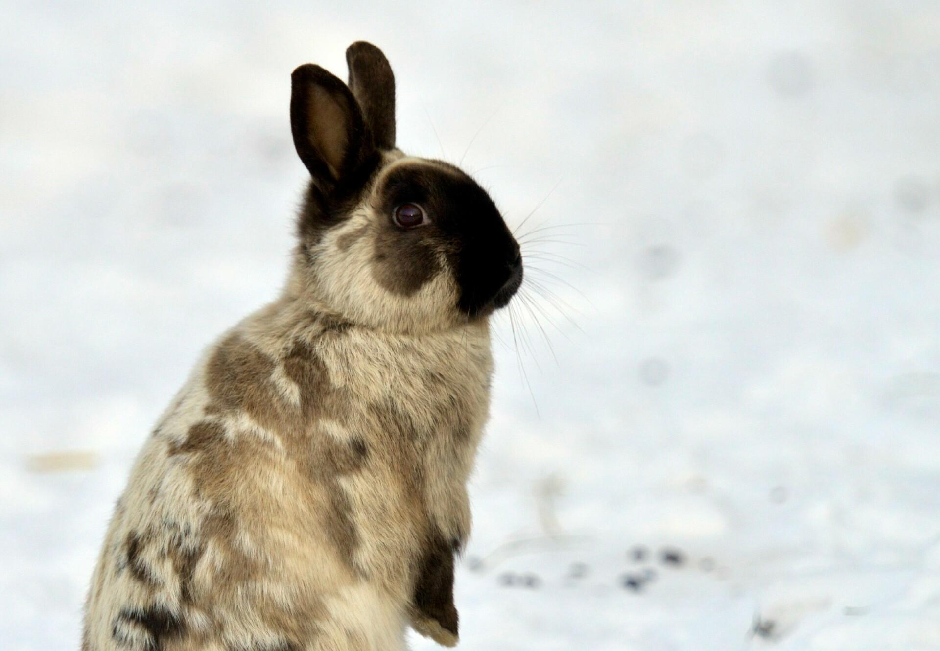 Rabbit in snow