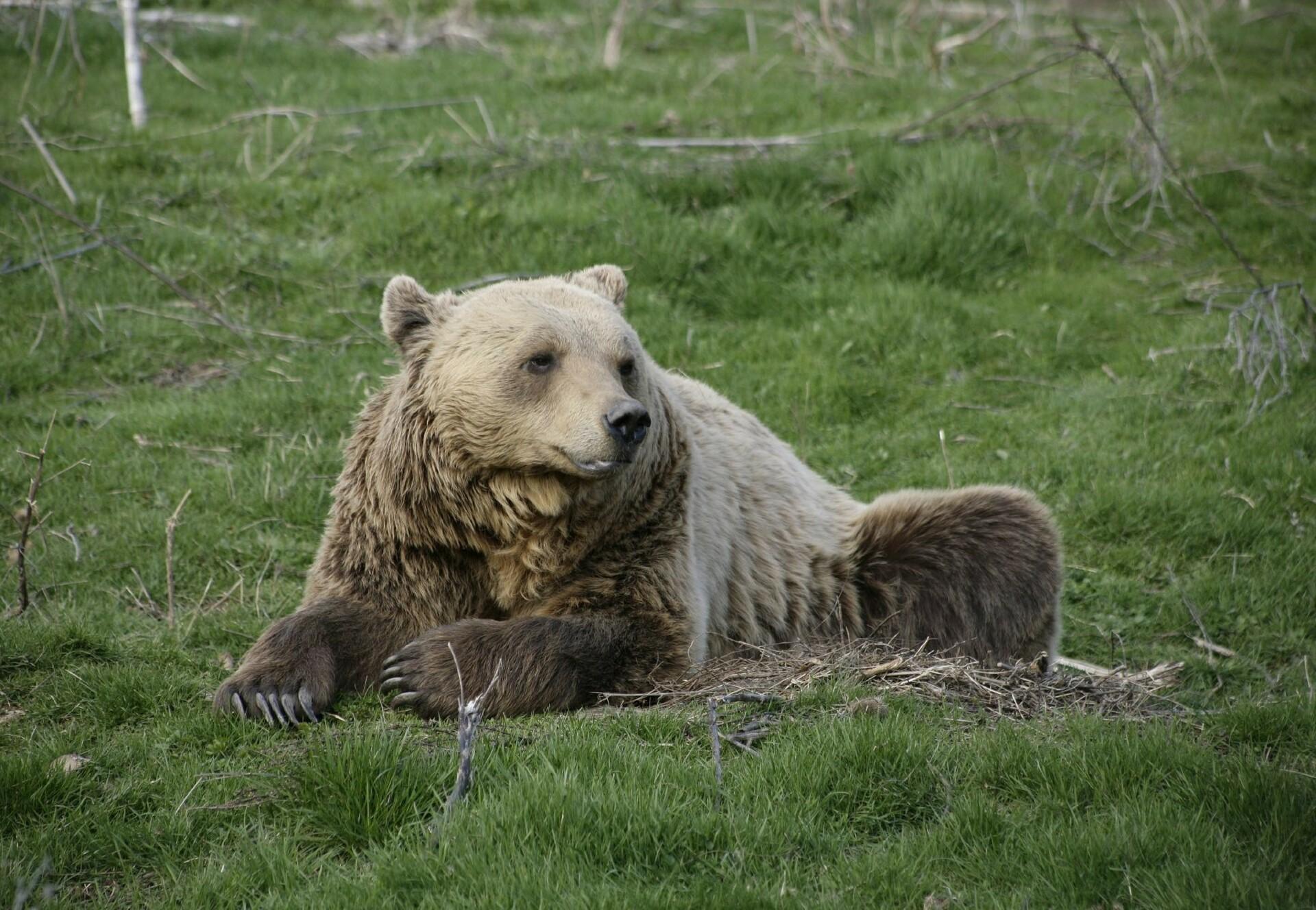 Bear Anik sitting in the grass