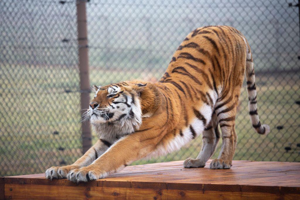 Tiger Caruso dehnt sich im neuen Zuhause (c) VIER PFOTEN