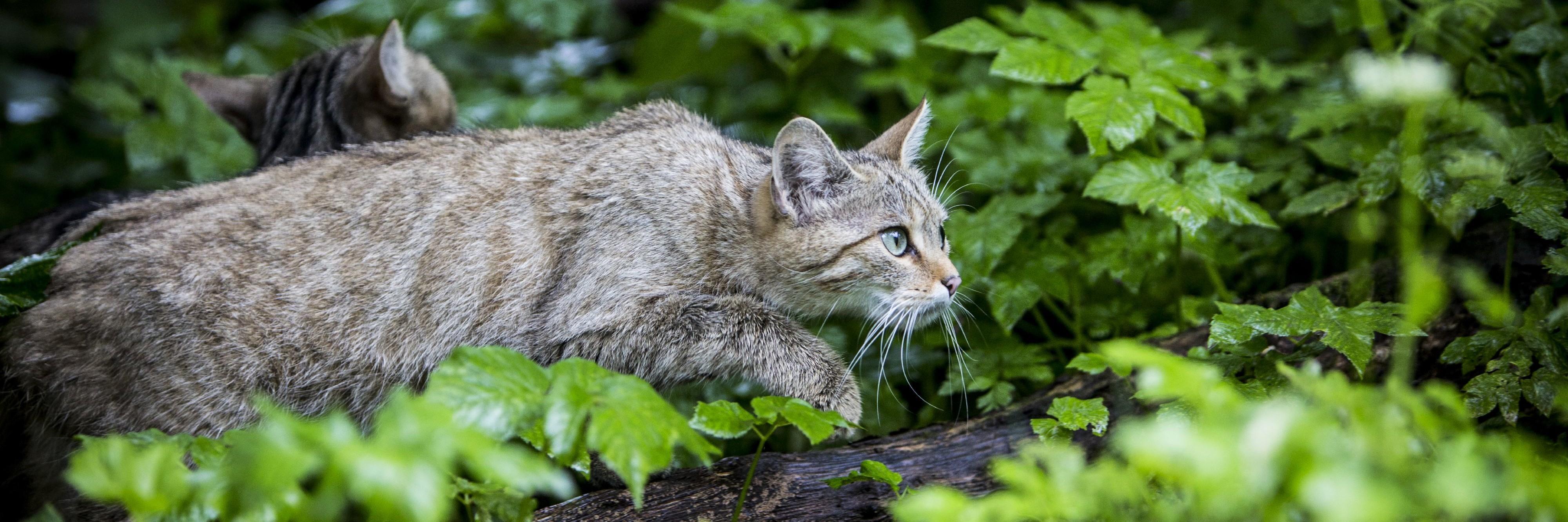 Europäische Wildkatze bei TIERART