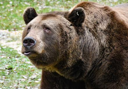 Braunbär Balou