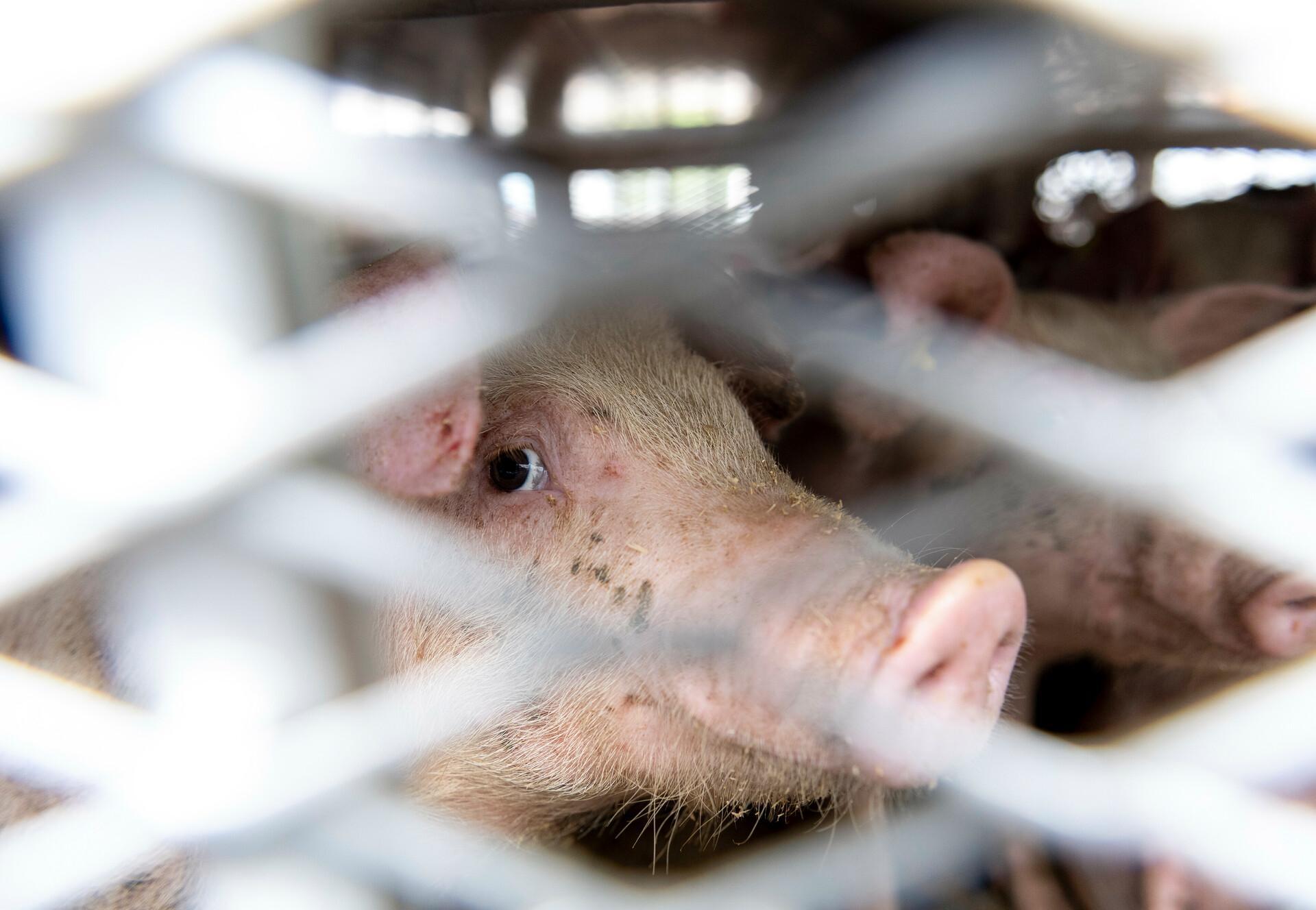 Schweinetransport in Deutschland