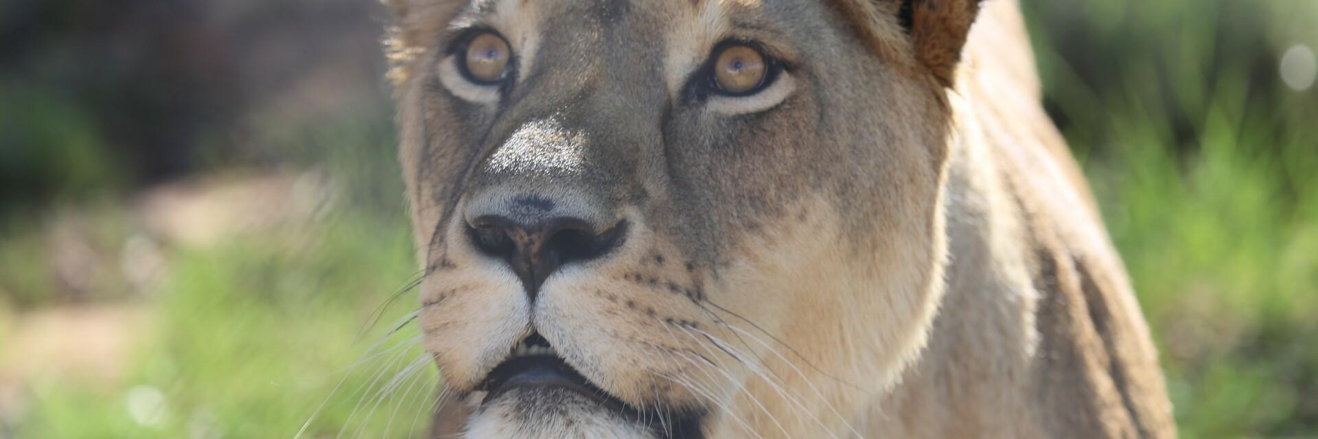 Support our rescued big cats