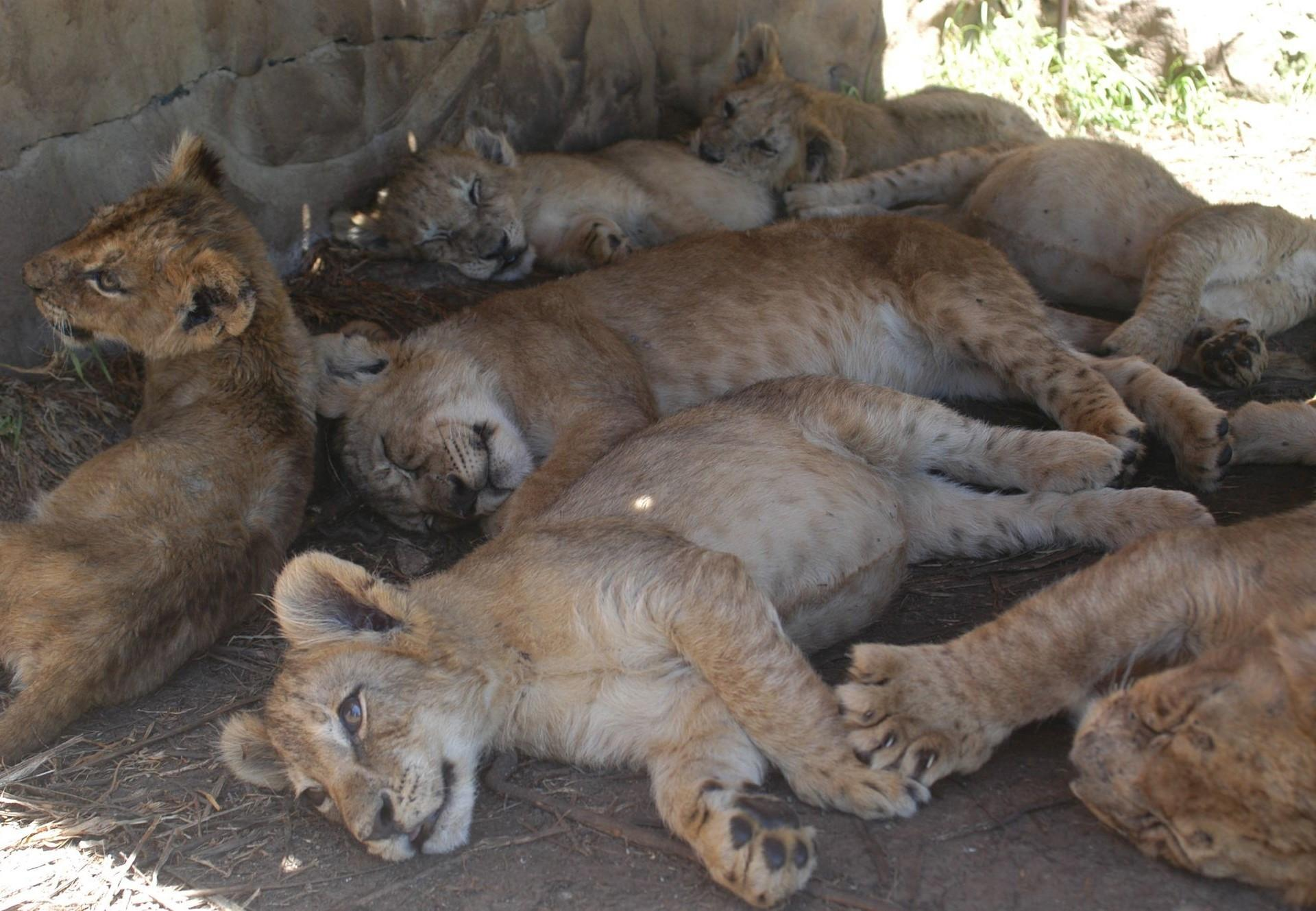 Lion cubs on a breeding farm