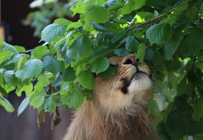 Lions Masoud at FELIDA