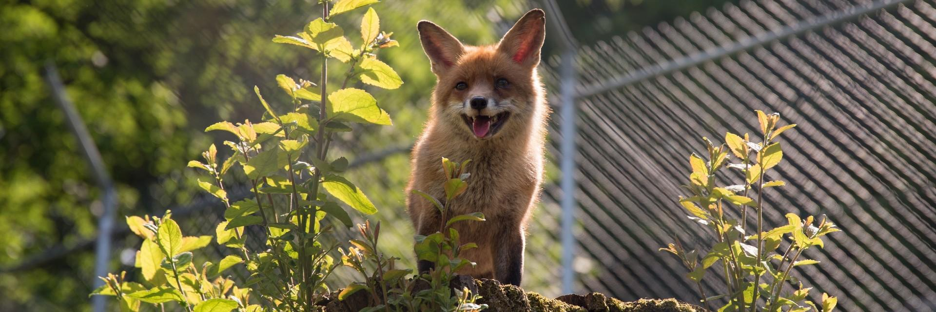 Happy fox at TIERART