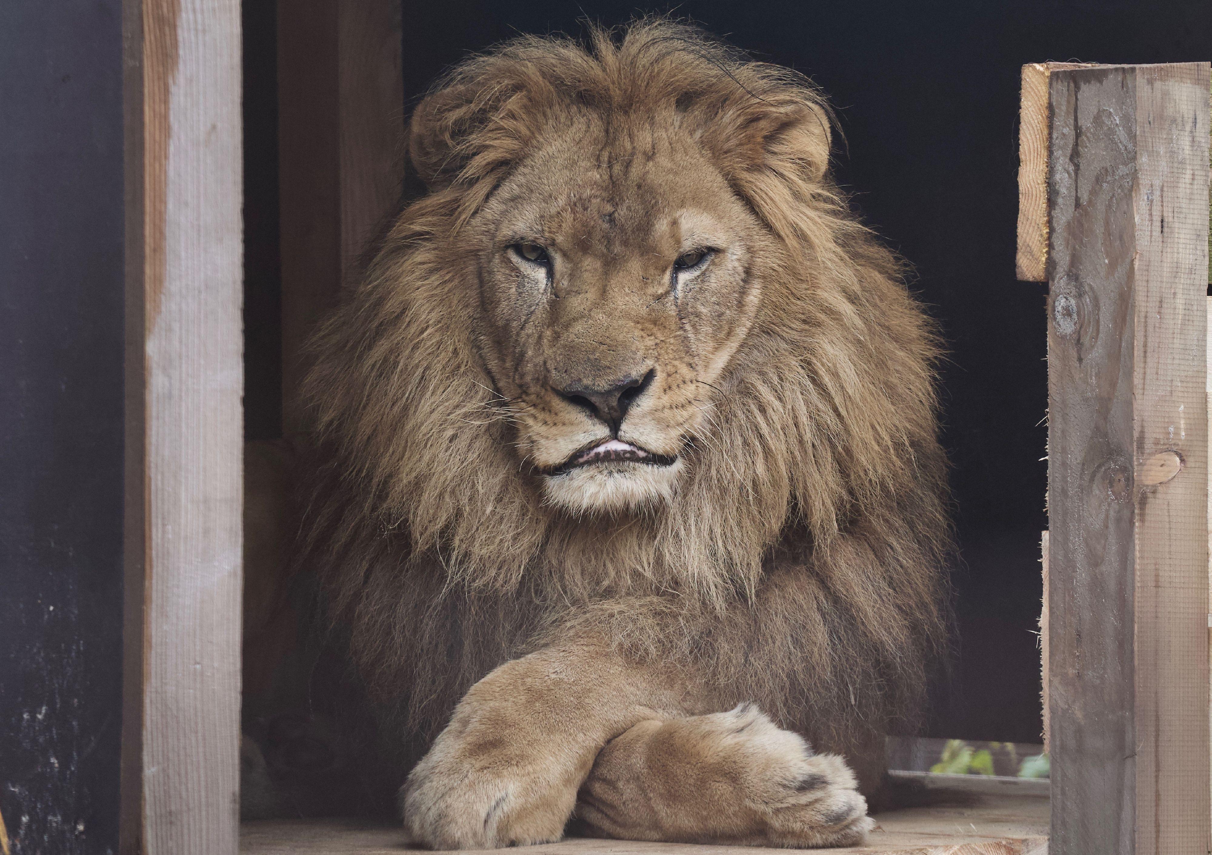 Animal Charity - Lion