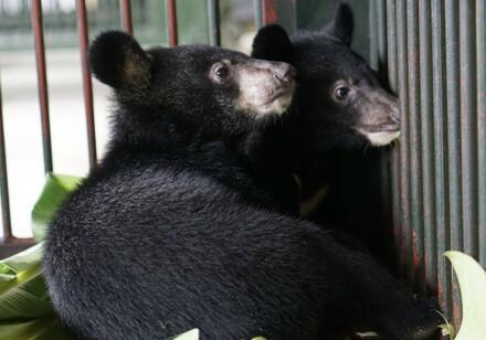 Les oursons ont été detenus dans une minuscule cage