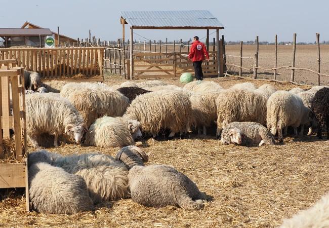 Die geretteten Schafe