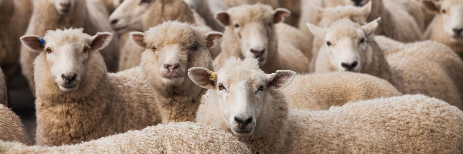 Australian sheep looking at camera