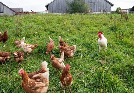 Kleinbäuerliche Landwirtschaft mit Hühnern in Österreich