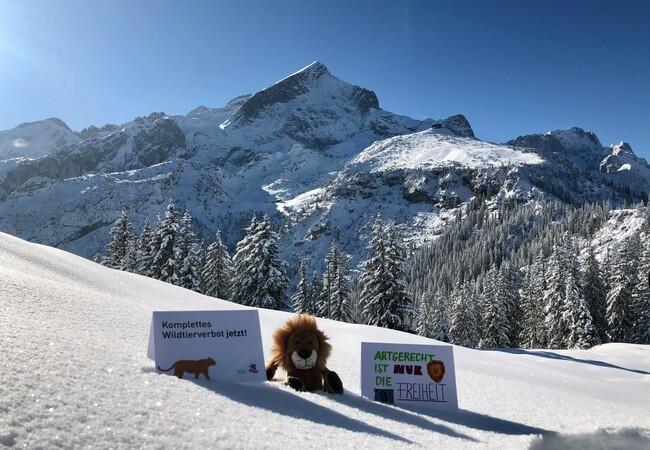 Plüschlöwe in den Alpen am Fuße der Zugspitze