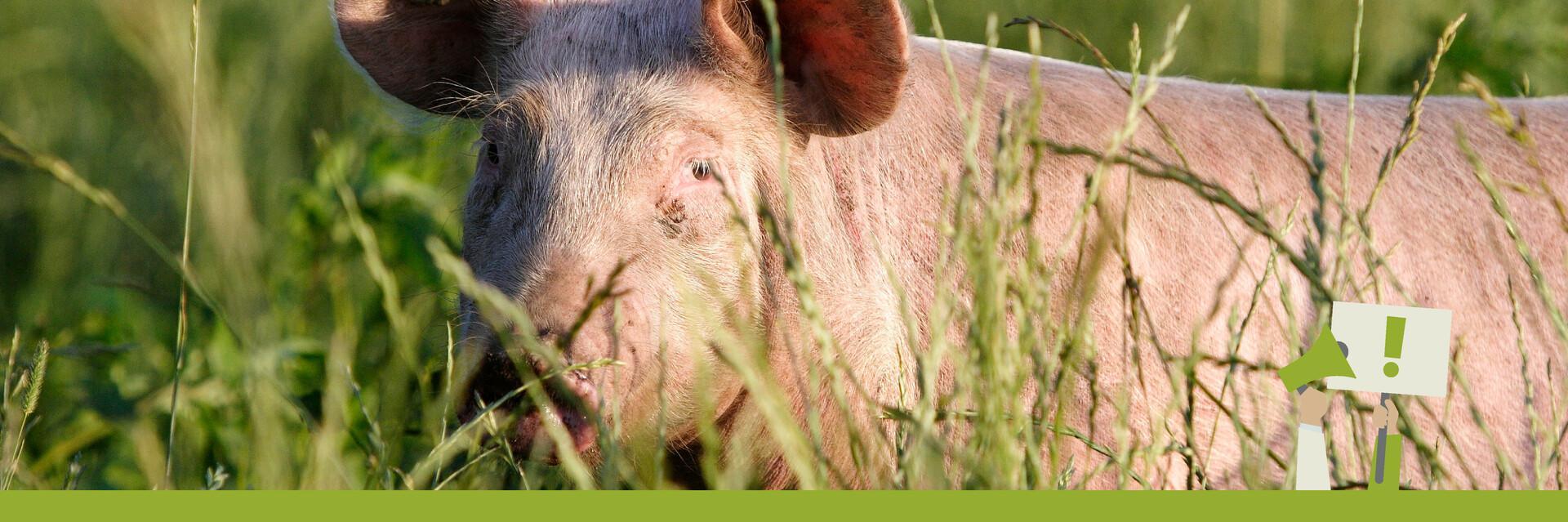 Schwein in der Wiese