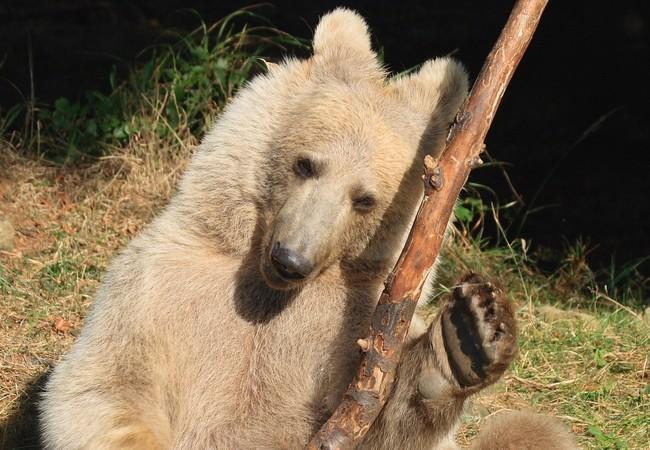 Junger Bär spielt mit Holzstück